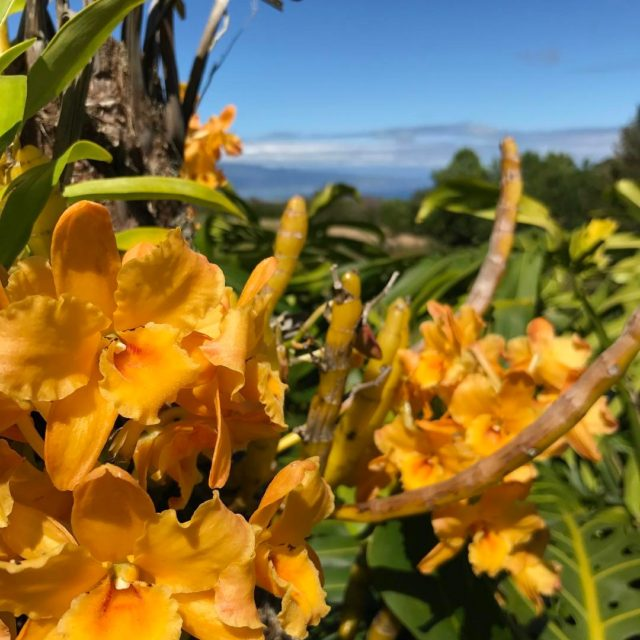 Spring is here on maui! orchids upcountry makawao maui hawaiihellip